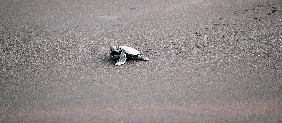Velas turtle festival, Cyril Thomas